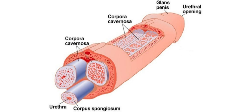 penis anatomi